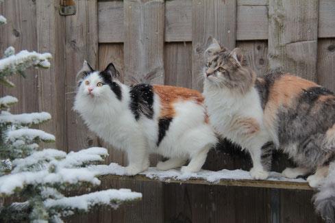Trotse Frigga met haar nestje 2014 (deze kittens zijn inmiddels verhuisd)