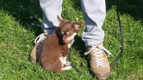 Toffee, Chihuahua