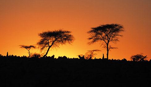 Acacia in sunset
