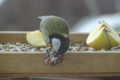 Kohlmeise Great tit