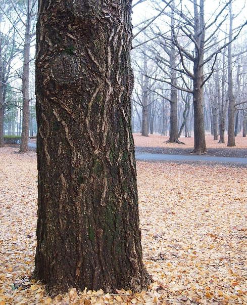 12月29日(2014) イチョウ林の冬:野川公園