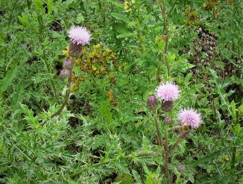 """Die Raupen des Distelfalters ernähren sich von der oft als Unkraut bezeichneten Gewöhnlichen Kratzdistel (Cirsium vulgare), die sich seit dem letzten Jahr im Bienengarten angesiedelt hat. Selbst """"Unkraut"""" trägt also zur Biodiversität bei!"""