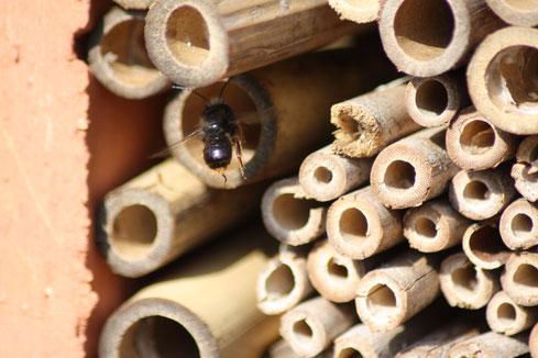 Aus den Bambusröhrchen schlüpfen im Frühling als erstes die männlichen Mauerbienen und warten auf den Schlupf der Weibchen.