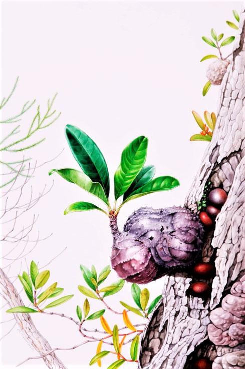 Myrmecodia tuberosa, 47 x 34 cm,