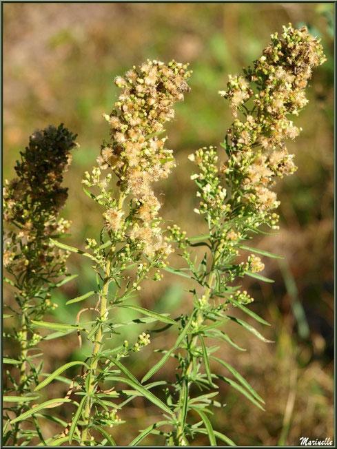 Millepertuis ou Hypericum ou Chasse Diable avec ses akènes en automne, flore sur le Bassin d'Arcachon (33)