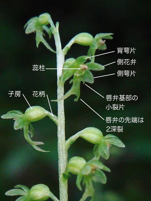 コフタバランの花の構造