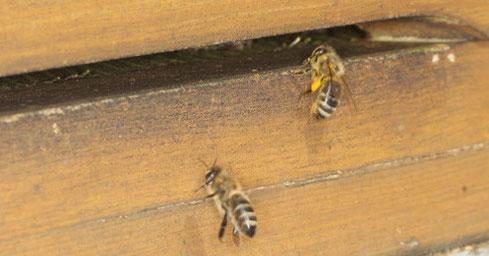 Arbeiterinnen der Honigbiene (Apis mellifera) bei der Rückkehr vom Trachtflug
