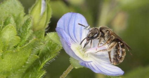 Furchenbiene (Halictus) am Ehrenpreis