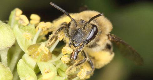 Porträt des Weibchens der Efeu-Seidenbiene (Colletes hederae)