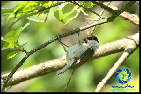 Marsh Tit hanging on a tree