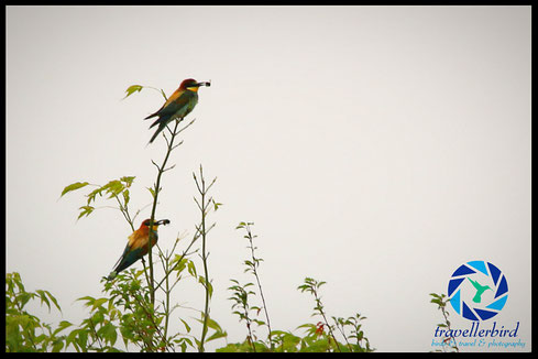 Bee-Eater with insects