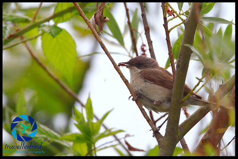 Lesser Whitethroat Sylvia curruca on a tree