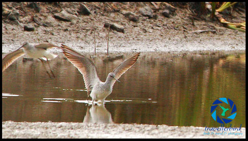 Grünschenkel Common Greenshank Bird on a lake