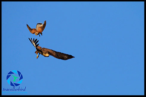 Common Kestrel and common buzzard during air-to-air fight