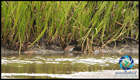 Bekassine Common Snipe on a Mudfield searching for food