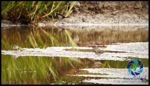 Bruchwasserläufer wood sandpiper on a mudfield