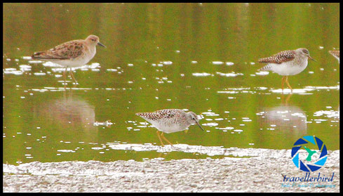 Kampfläufer Ruff and Woody Sandpiper