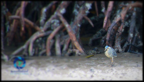 Striated heron Mangrove Heron
