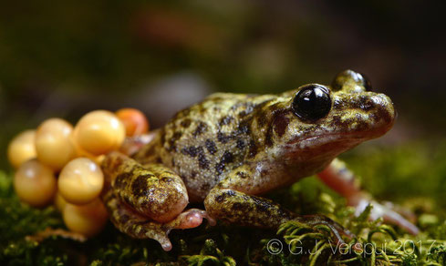 Majorcan Midwife Toad