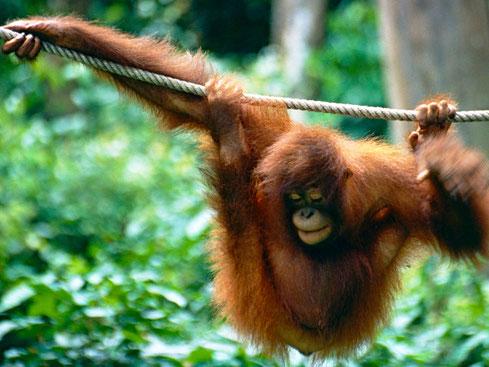 Sepilok rehabilitatiecentrum in in Sabah op Borneo