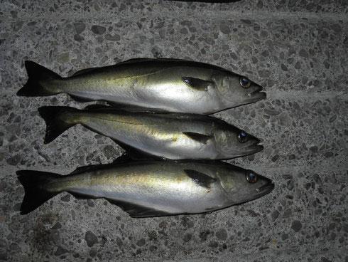 Pollack satt - ein Fisch aus der Familie der Dorsche. Im Unterschied zu seinem Verwandten zeigt die Seitenlinie des Pollacks allerdings einen bogenförmigen Verlauf über den Brustflossen.
