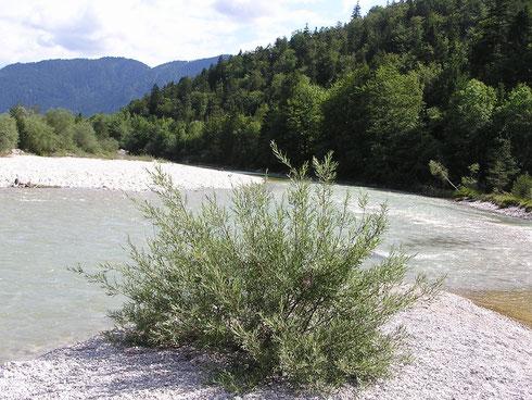 Die Deutsche Tamariske ist ein Strauch und gehört zu den Pionierpflanzen, die sich auf neu gebildeten Schotterflächen der Alpen- bzw. Voralpenflüsse ansiedelt. Heuschrecke und Flussuferläufer wollten nicht fotografiert werden.