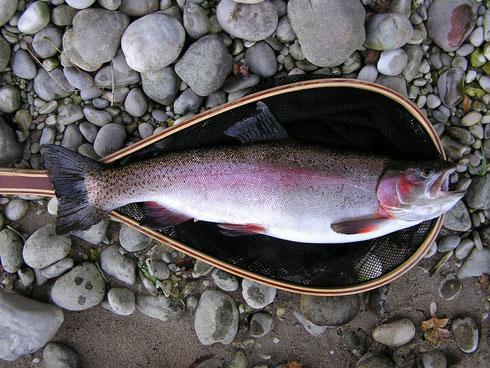 Regenbogenforelle aus der Traun. 51cm - 1,70kg. Von meinem älteren Bruder Robi gefangen.