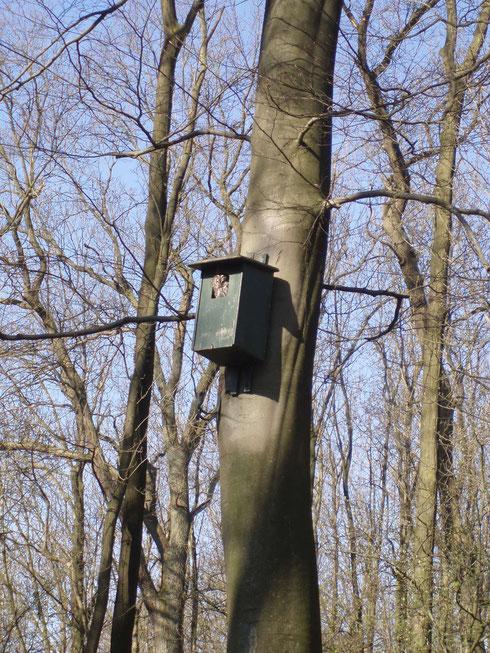Gern nimmt der Waldkauz Nisthilfen an astfreien Stämmen alter Bäume an - Tangstedt, Frühjahr 2010