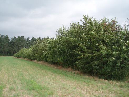 Vor wenigen Jahren noch eine artenreiche Wallhecke. Heute eine Monokultur aus Später Traubenkirsche. Insekten und Vögel gibt es hier nicht mehr. Alle Fotos: H.H.Dürnberg