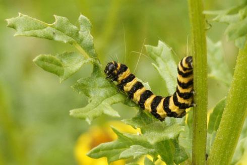 Raupe des Blutbären - Schmetterlinge sind hochsensible Indikatoren für den Zustand von Natur und Umwelt. Die Existenz dieser Arten ist nur über den Erhalt der Futterpflanzen möglich. Foto: Cl. Dammann