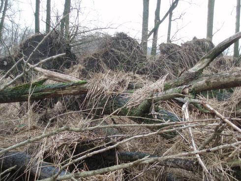 """Auswirkungen des Sturmtiefs """"Xaver"""" am 5./6.12. 2013. Wie lange steht der Pappelwald mit den Seeeadlerbrutbäumen  noch?"""