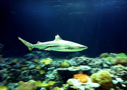 """Sehr dynamisch - Bewegungsunschärfe durch """"Mitziehen"""": der Hai in seinem Becken (Tierpark Hellabrunn)"""