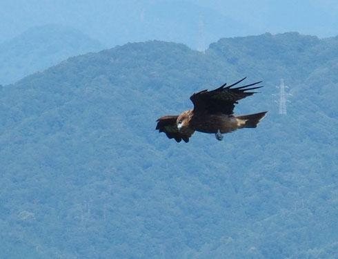 上昇気流に乗って旋回中。急降下もするので小鳥か何かを狙っているのでしょう。