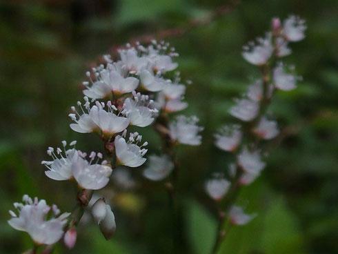 サクラタデ                                                    大好きな花です。残念ながら雑草に負け減らしています。