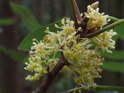 18日にはまだつぼみだったシロダモが今日は満開です                今の時期に花を付ける貴重な樹木