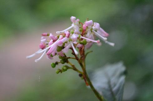 ホツツジ:まだ頑張って咲いています。             この花はピンクが鮮やかで目立っていました。