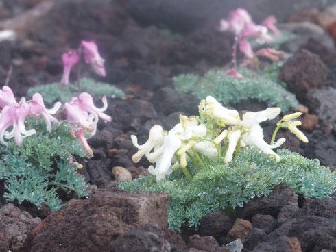 珍しい白花のコマクサです