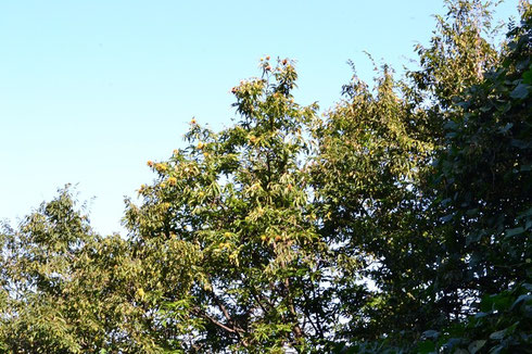 今年も栗は豊作のようです。                 昨年はこの木にクマ棚が出来ていた。今年は??