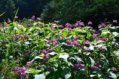 ツリフネソウの大群落                               この中にハチドリのような昆虫がいるのですが、分かりませんね。どうもスズメガのようです。アップの写真は撮らせてくれなかった。