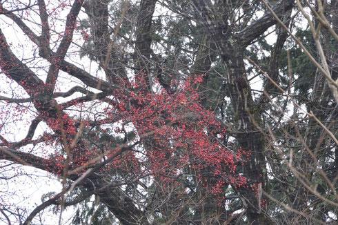 これは先日の写真                           サルナシの高木に赤い実をまだたわわに付けていた。