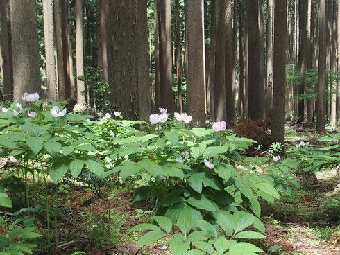 この様な群生があっちこっちに。                              花のピークは過ぎています。そして今年は白花が多いようです。