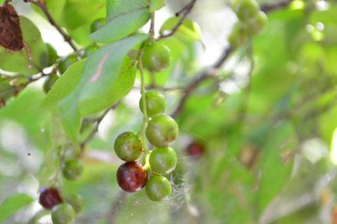 ナツハゼ 成熟すると実が黒くなる。食用になるそうです。