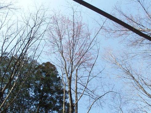ハナノキ 公園では見たことあるが自生のハナノキは初めて見た