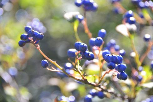 サワフタギ・・・たくさん沢山青い実を付けてました