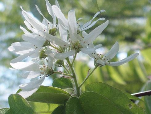 ザイフリボク                         昨年はたくさん咲いていたが今年は二房だけ。なんででしょうか。それだけに貴重です。
