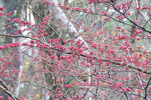 たわわに実を付けたアオダモもすっかり葉っぱを落としている。   アズキナシも同様だが高木過ぎて写真撮れず。               本格的に雪になると小鳥たちがついばみに来るそうな。