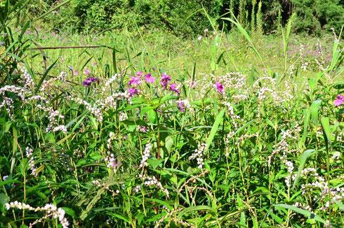 登山口の湿地帯に咲くサクラタデとツリフネソウのコラボです