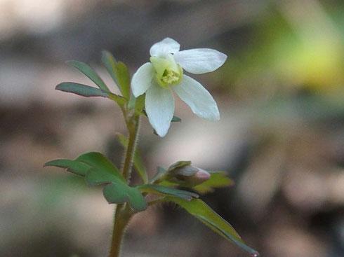 ヒメウズ:今日の山行の目当てのひとつはこの花に会うことでした