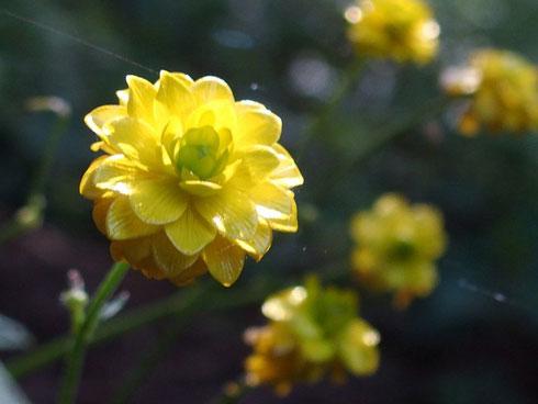 ウマノアシガタの八重咲のようです。