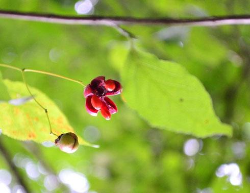 ツリバナの実が色ずき始めました。途中で実を落とさずにみんな色ずいてほしい